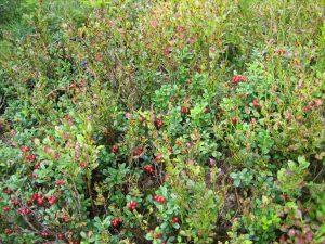 Heidelbeeren und Preiselbeeren