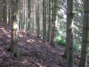 von Untermusbach kommend, der Kindlesbrunnen im Wald versteckt